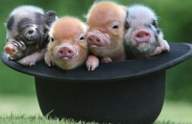 Pictures of Micro-Pigs To Make You Think Less About the Sweet Release of Death