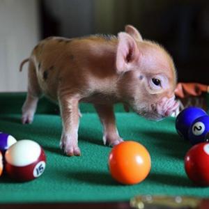 bar-pig