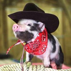 cowboy-pig