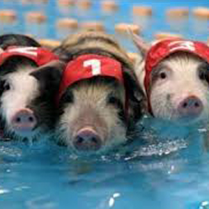 pool-pigs