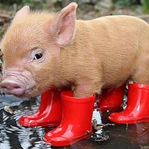 rainboots-pig