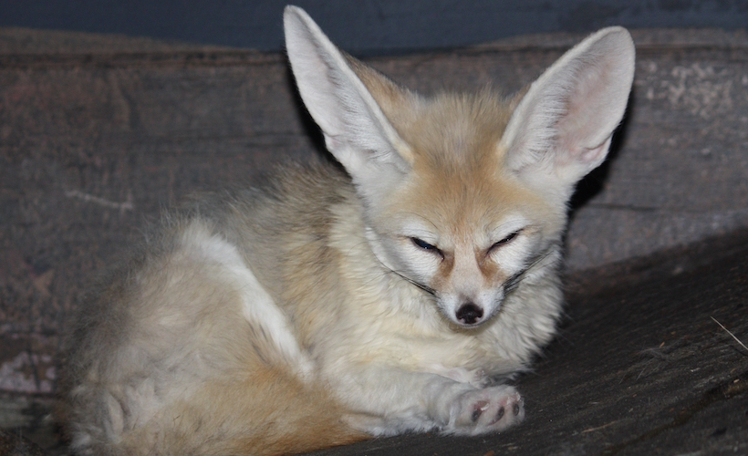 reductress these fennec foxes are too cute for words but we ll do