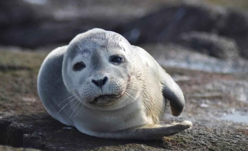 Harbor_seal_mammal_phoca_vitulina
