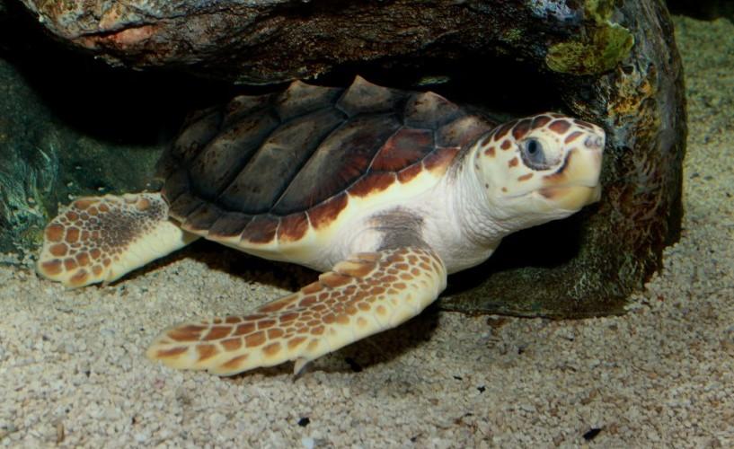 Loggerhead_Sea_Turtle_(Caretta_caretta)_2