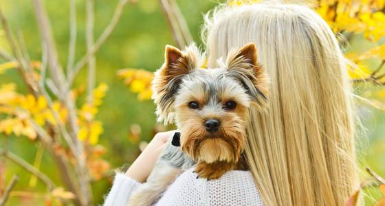 little yorkshire terrier on the shoulder of blonde girl