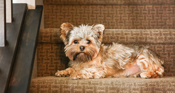 a cute yorkshire terrier on stairs looking at the camera