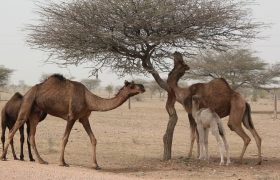 11 Powerful Photos of Camels Breastfeeding