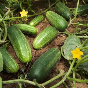 5-english cucumber