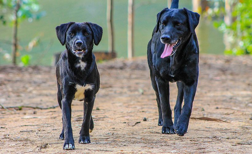 black-dog-1071594_960_720