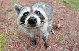 I Still Live With My Ex And Also This Wily Raccoon