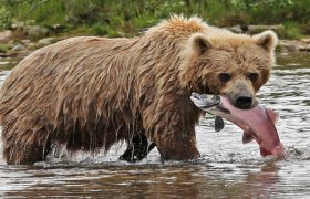 Get Shiny Hair by Catching Salmon in Your Grizzly Fangs