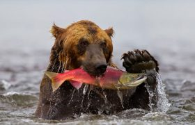 "Female Salmon Says She's ""Fine"" Even Though a Grizzly Bear is Clearly Catching Her"