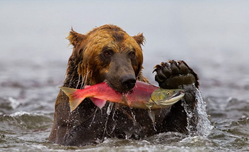 Image result for grizzly with salmon