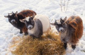 Stay Warm This Season With These Luxurious Winter Goats