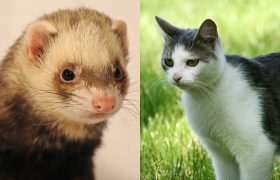 Awww! This Cat And Ferret Are Living Together In Order to Save on Rent