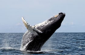 Whales Admit They Like Their Blowholes Teased