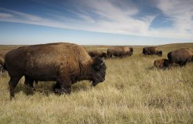 Why I Stopped Dating Men and Started Following a Herd of Majestic Bison