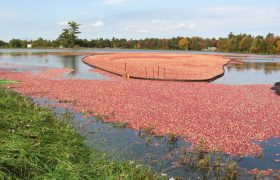 How I Cured My Recurring UTI By Establishing Residency in a Cranberry Bog
