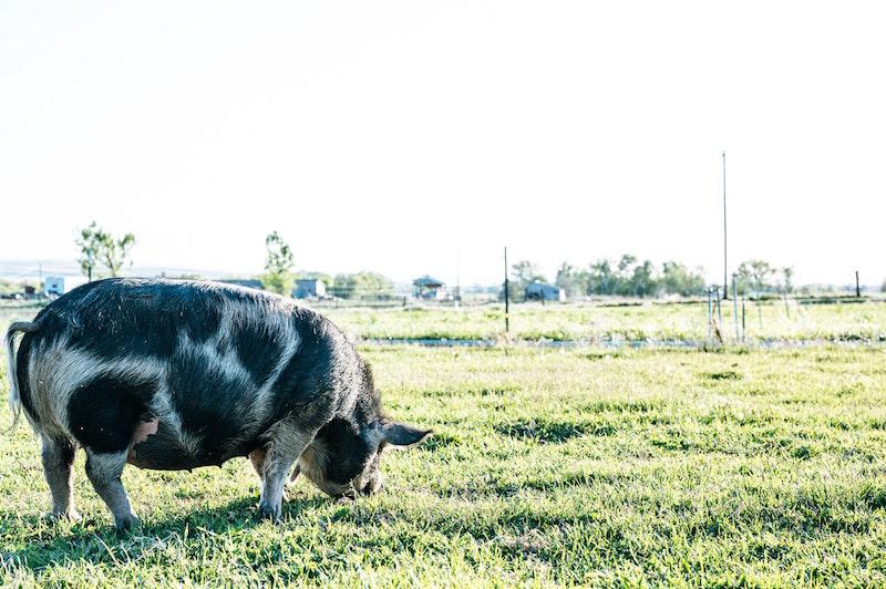suck cow Pig a