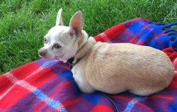 small dog sitting on picnic blanket