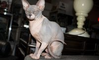 gray and pink hairless cat