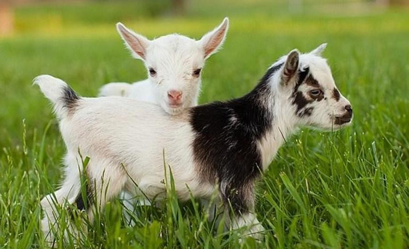 5 Baby Goats That Would Give You Their Extra Adderall if They Had It Unlike Your Stupid Sister