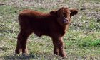 I Can Tolerate Lactose Because I'm a Fluffy Little Highland Calf